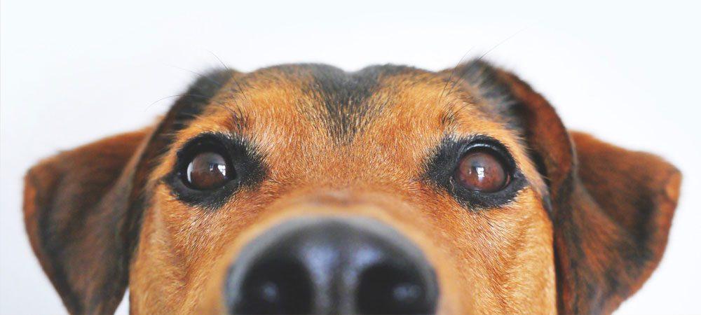 Entenda como deve ser feita a vacinação do seu cão