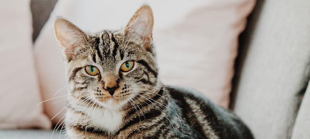 Entenda como deve ser feita a vacinação do seu gato