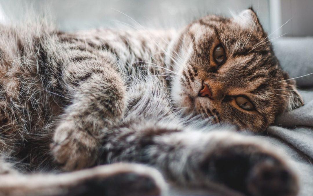 FELV: Como identificar e tratar a Leucemia Felina?